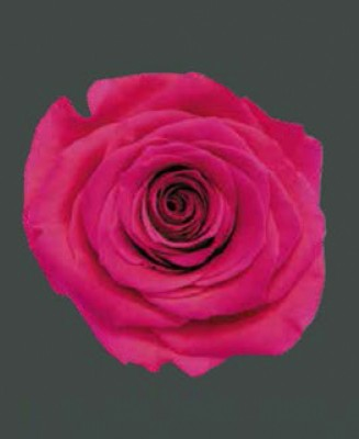 Rosa Real SOPHISTICATED HOT PINK