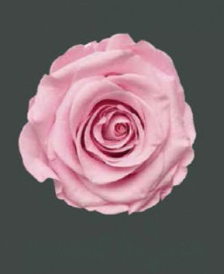 Rosa Real DELICATE BABY PINK