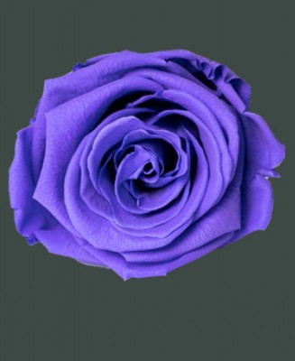 Rosa Real CHARMING PURPLE