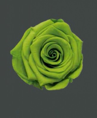 Rosa Real LIME GREEN
